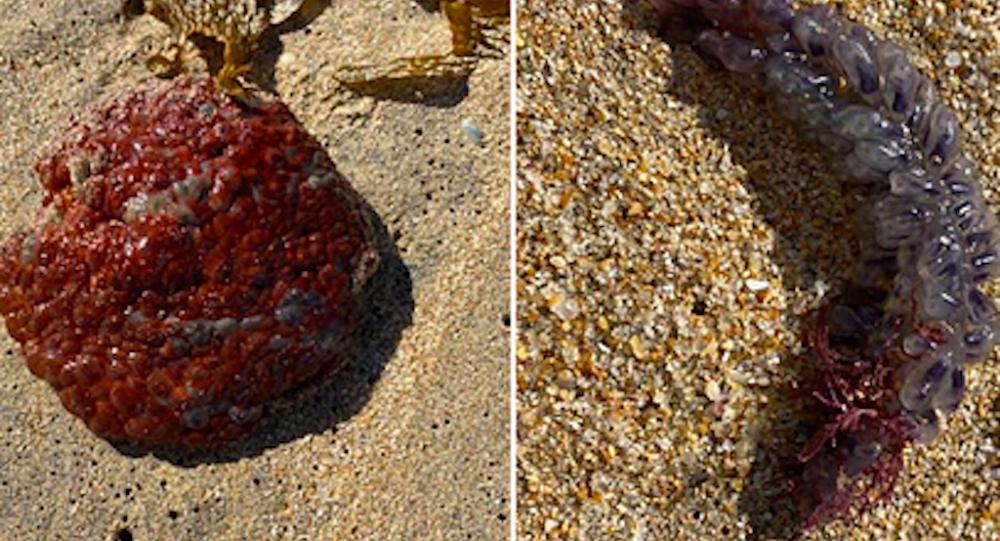 澳洲女子在沙滩发现奇怪生物