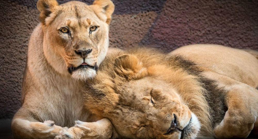 美国动物园在同一天安排一对狮子伴侣安乐死