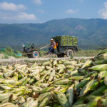 发霉玉米视频引发中国人担忧粮食安全