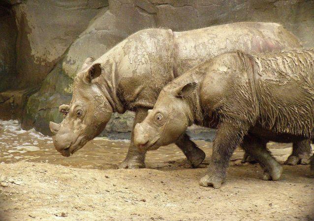 马来西亚专家计划克隆苏门答腊犀牛