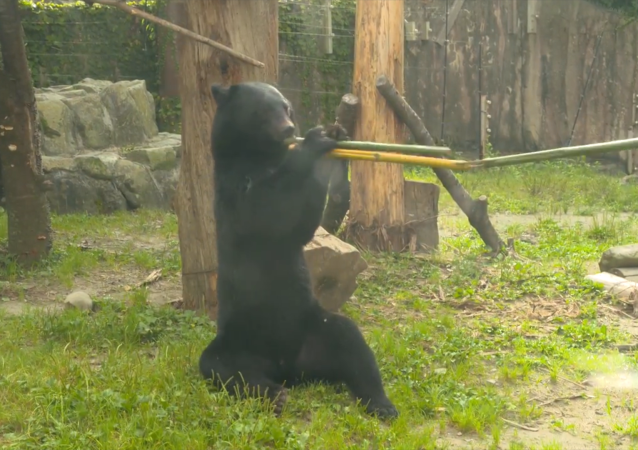 日本熊堪称双节棍大师
