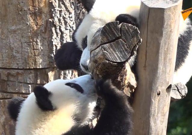 双胞胎大熊猫的生日