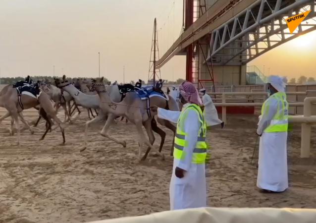 迪拜恢复骆驼比赛