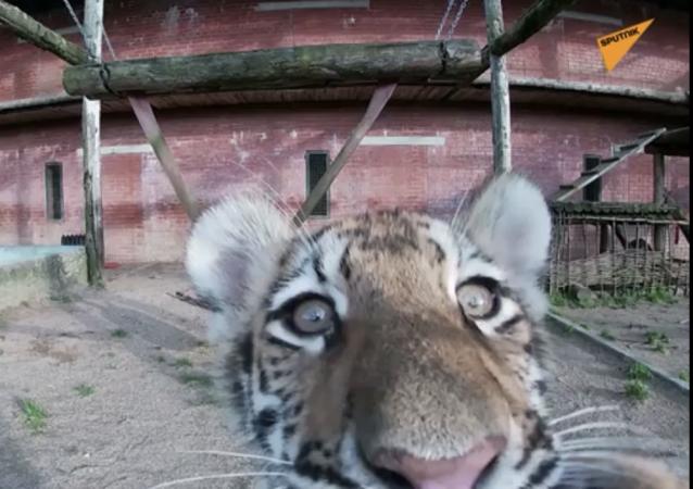 莫斯科动物园出生稀有阿穆尔虎幼崽