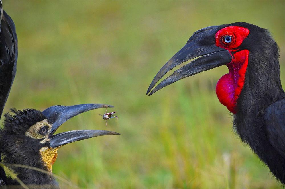 """印度摄影师Varun Thakkar的作品《Breed The Red》,""""Animal Behaviour""""类特别提名奖"""