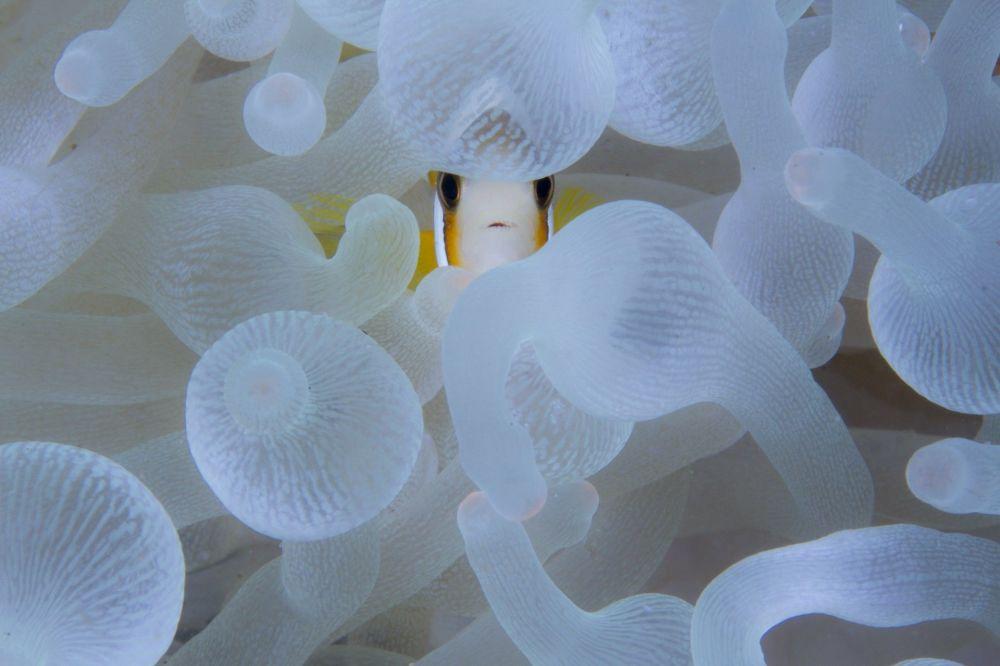 "摄影师Digant Desai的作品《A Nemo, An Anemone》,""Wildscape & Animals in Habitat""类特别提名奖"