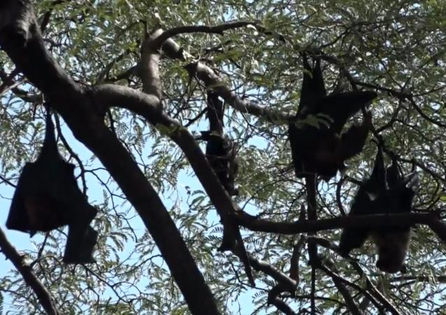 印度村庄试图保护蝙蝠