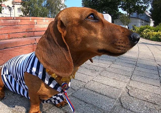 腊肠狗查帕——波罗的海第一个船舱狗