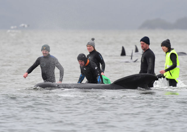 澳大利亚冲滩搁浅的领航鲸数量达470只