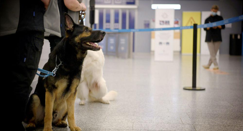 芬兰赫尔辛基机场使用嗅探犬检查乘客是否感染新冠病毒