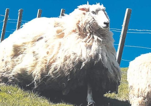 新西兰一只五年没有剃毛的羊被抓