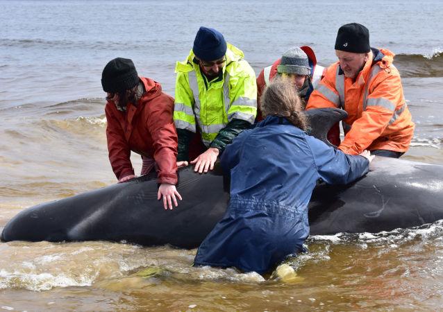 澳大利亚90多头搁浅的领航鲸获救