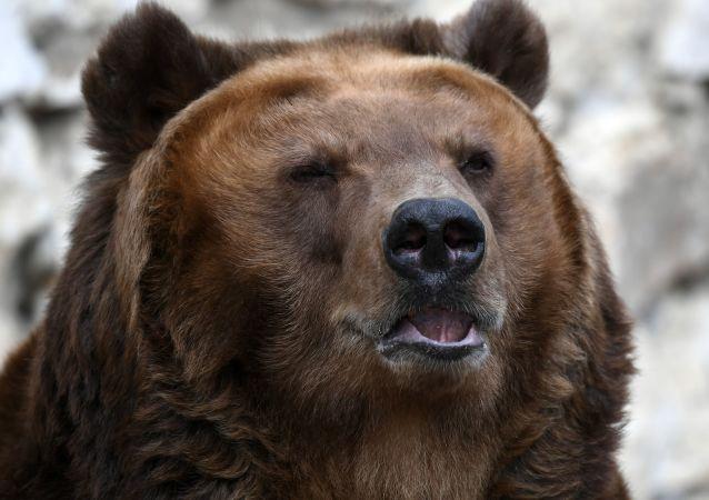 俄滨海边疆区一名男子遭母熊袭击 狩猎监督人员救下熊崽