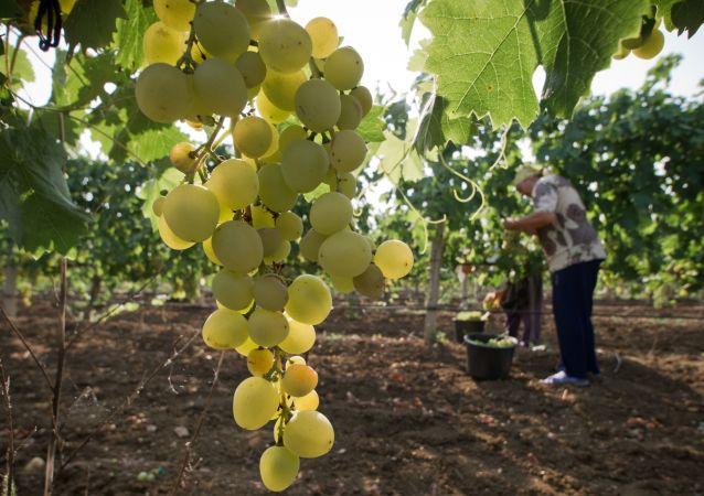 农学家指出葡萄何时对健康有害