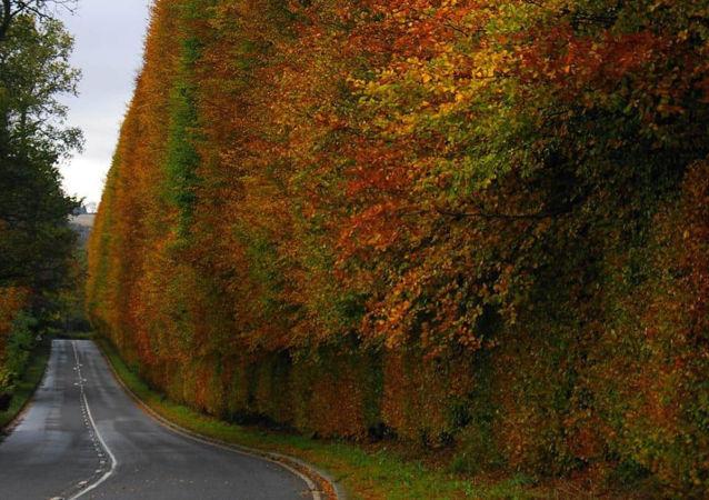 世界上最高的树篱被拍摄于苏格兰