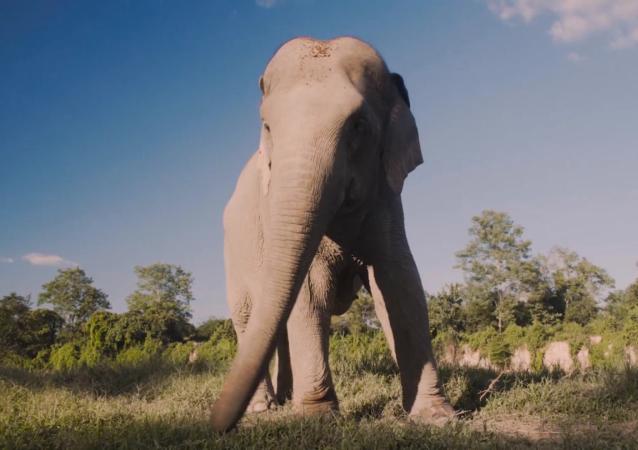 大象在机器旁——泰国推出慈善目的的动物直播