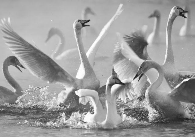 生活里的天鹅童话:摄影师弗拉基米尔·维亚特金的创作