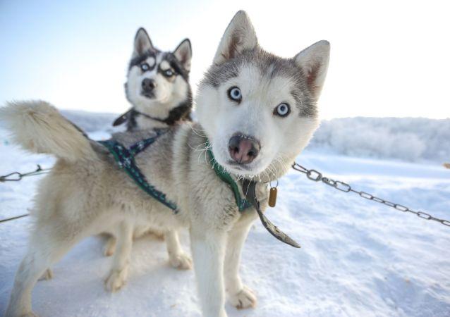 芬兰拉普兰旅游公司因没有游客散发哈士奇狗