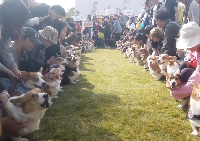上海举行柯基聚会 狗狗们盛装出席