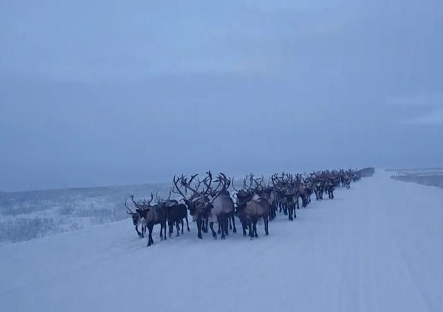 俄罗斯北方的游牧民族如何驱赶驯鹿?