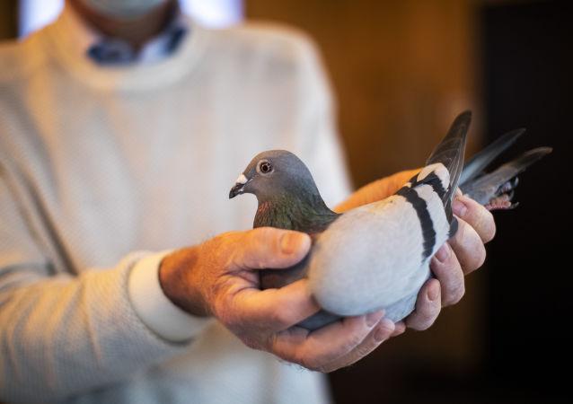 澳大利亚想给美国来鸽一线生机