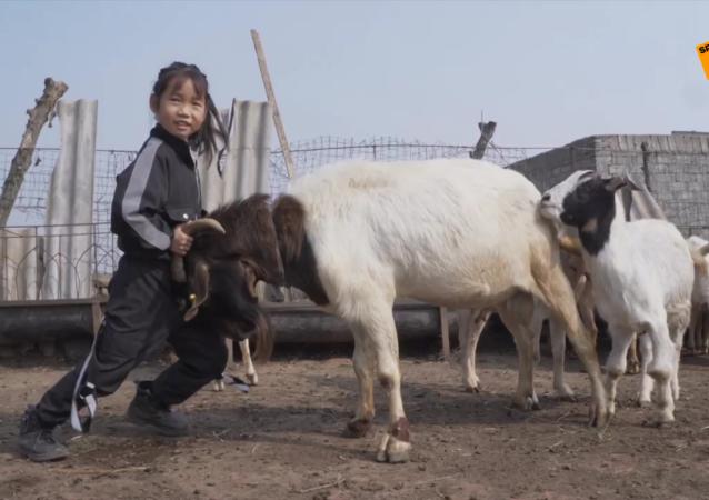 7岁女孩管300多只羊