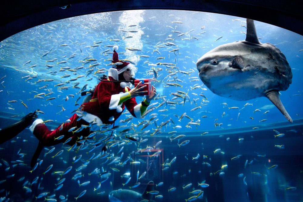 日本一名打扮成圣诞老人的潜水员在水族馆喂鱼