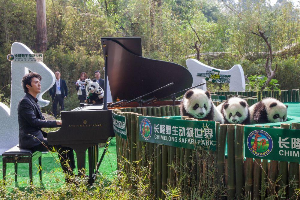 一名中国钢琴家在中国为大熊猫演奏