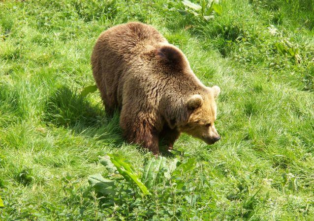 研究:熊在日本人房屋附近出现的频率几乎增加一倍