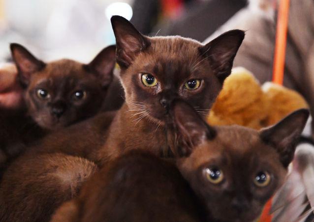 圣彼得堡一只家猫确诊感染新冠病毒