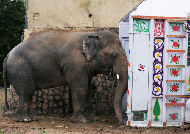 雄性大象卡万(Kaavan)