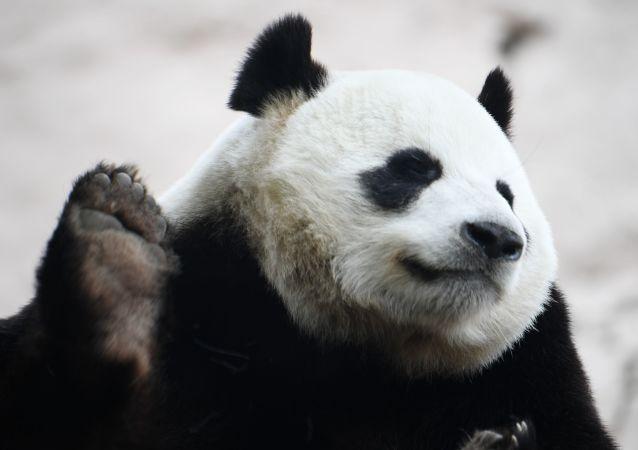 普京帮10岁小男孩实现愿望拥抱大熊猫