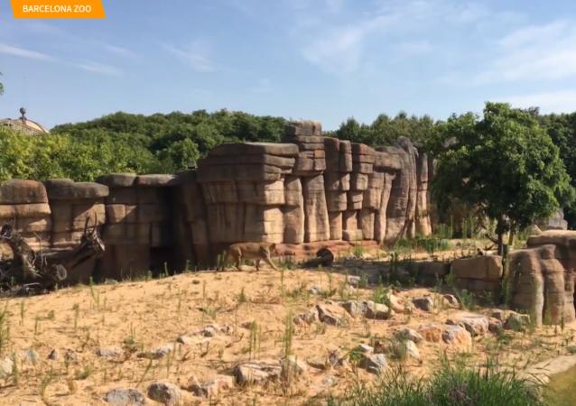 西班牙动物园狮子感染新冠病毒