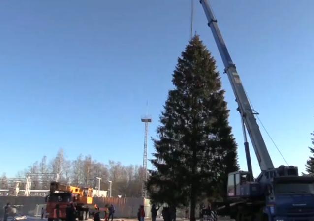 俄罗斯主新年枞树已砍伐完毕