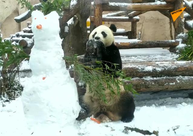 莫斯科动物园大熊猫手拆雪人