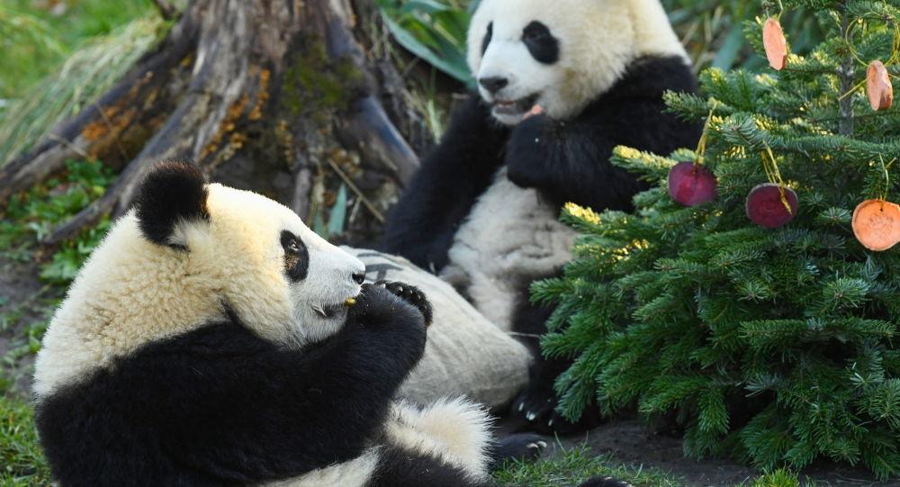 中国大熊猫野生种群增至1864只