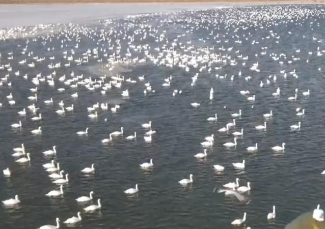 超过10万天鹅在里海沿岸过冬