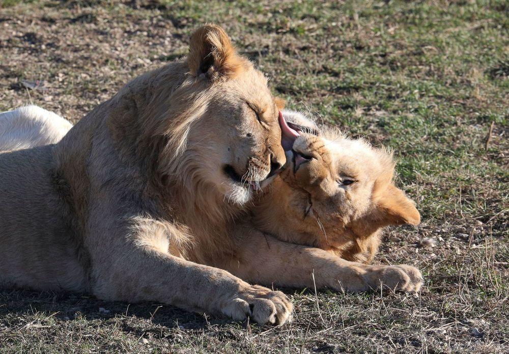 克里米亚泰甘动物园里的狮子。