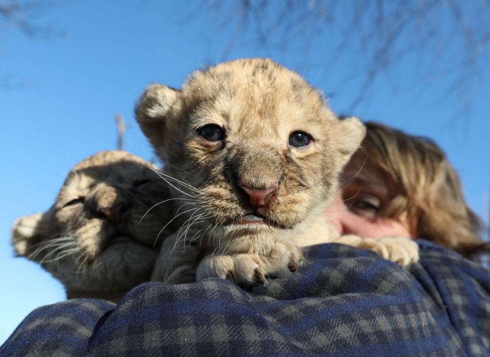 克里米亚泰甘动物园里的幼狮。
