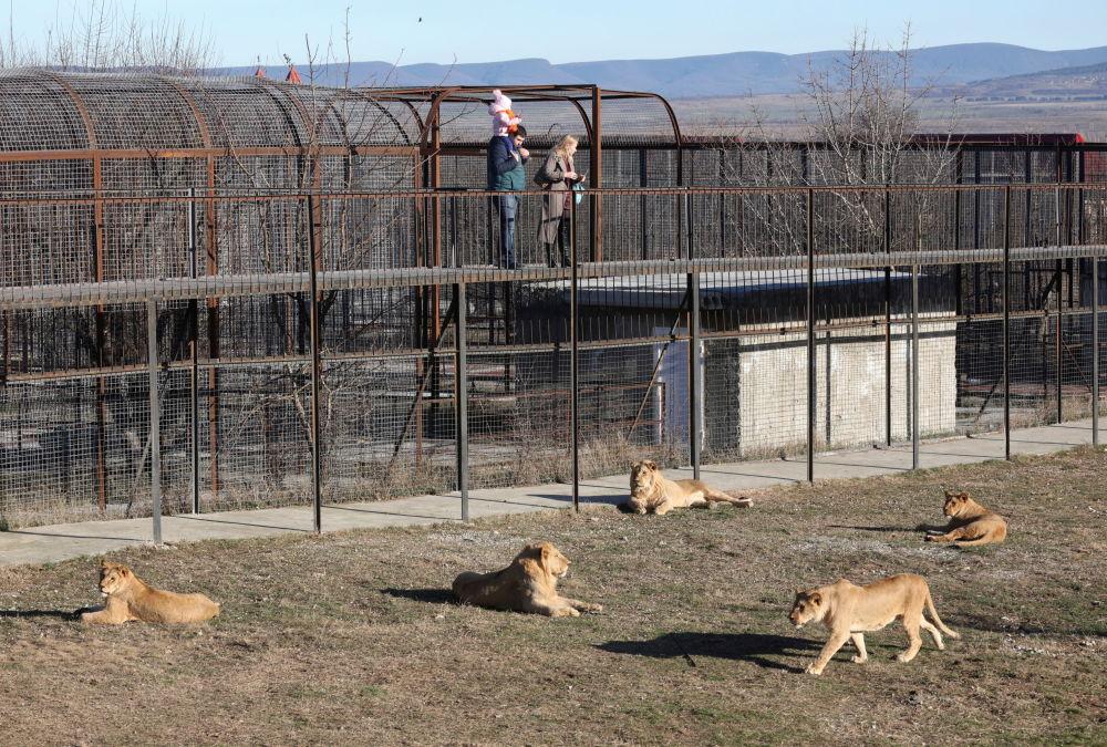 克里米亚泰甘动物园里的游客在看狮子。