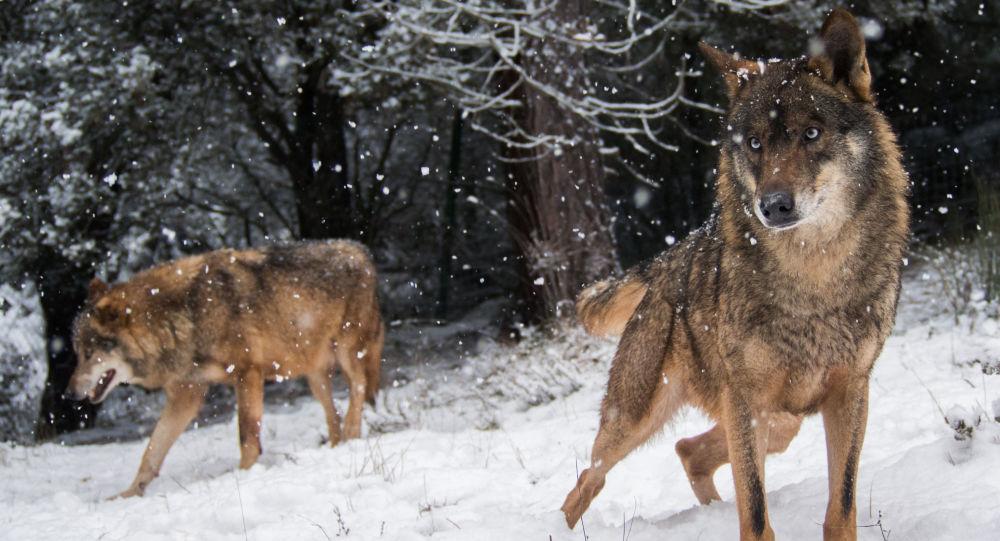 科学家确定狼借助什么度过冰河时期