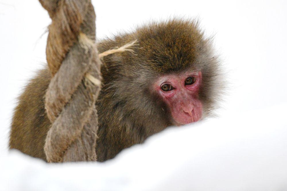 莫斯科市动物园日本猕猴在户外展示区活动