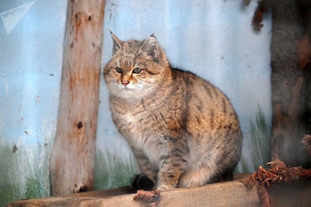 莫斯科市动物园草原野猫在户外展示区活动