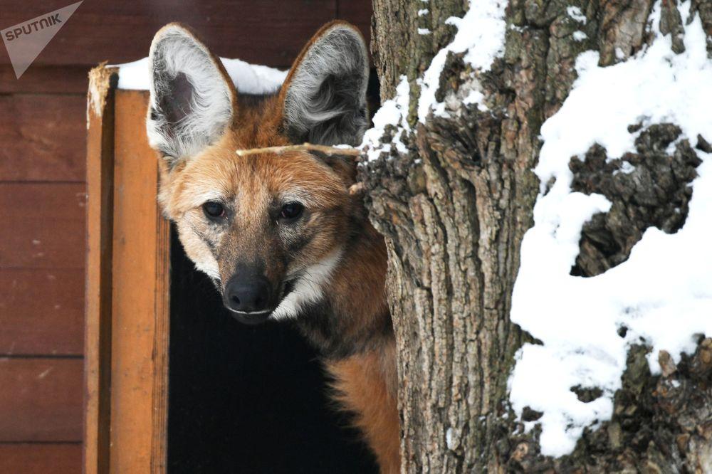 莫斯科市动物园鬃狼在户外展示区活动
