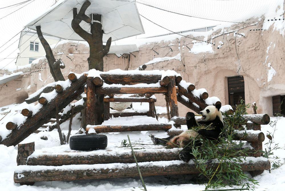 莫斯科市动物园大熊猫在户外展示区活动