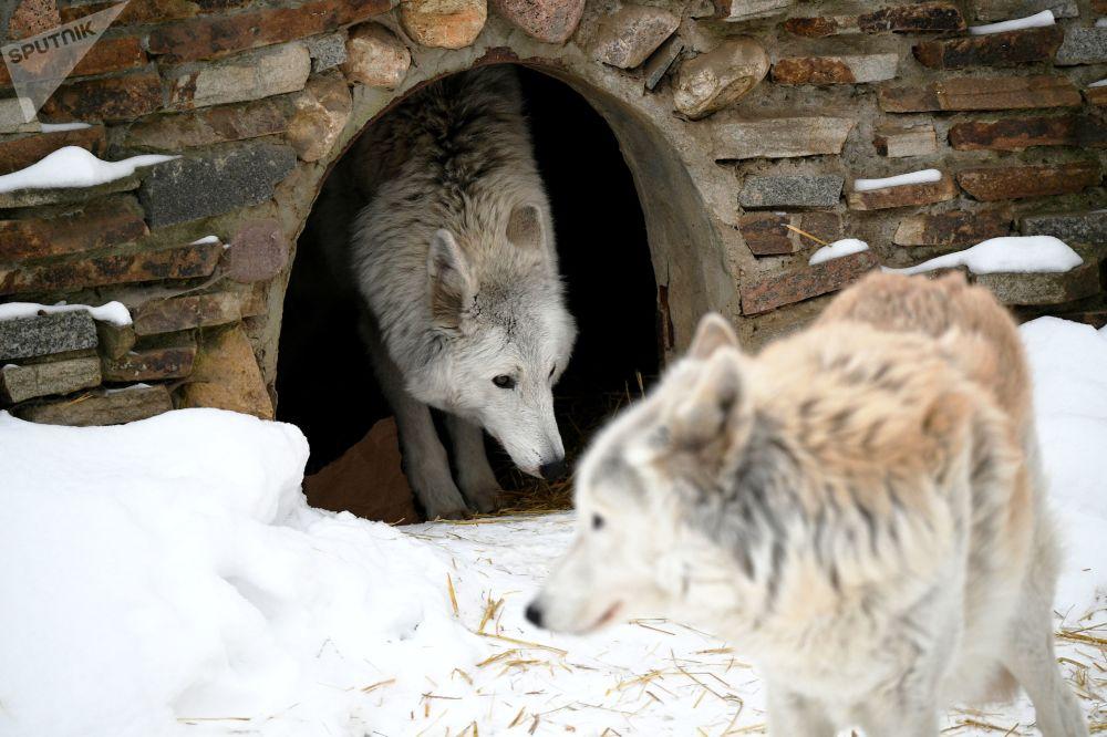 莫斯科市动物园北极狼在户外展示区活动
