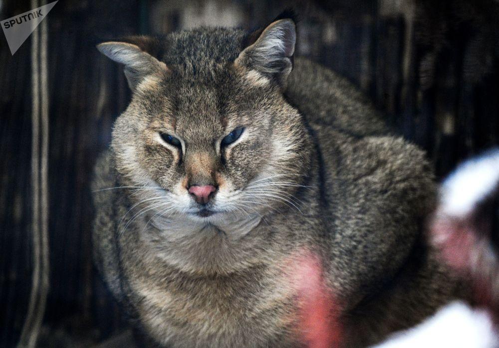 莫斯科市动物园丛林猫在户外展示区活动