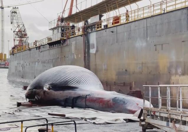 鲸鱼重量达到70吨