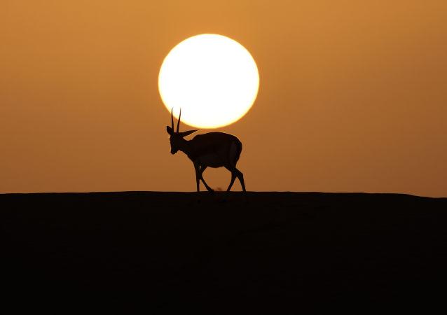 阿联酋阿里艾因沙漠特拉度假村中的野生羚羊。