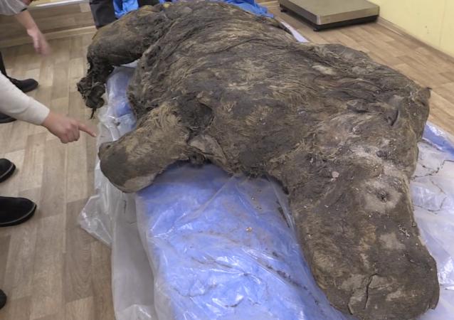 雅库特地区发现一具冰河时期长毛犀牛干尸